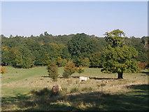 TQ5794 : Grazing cattle - The Park, South Weald by John Winfield