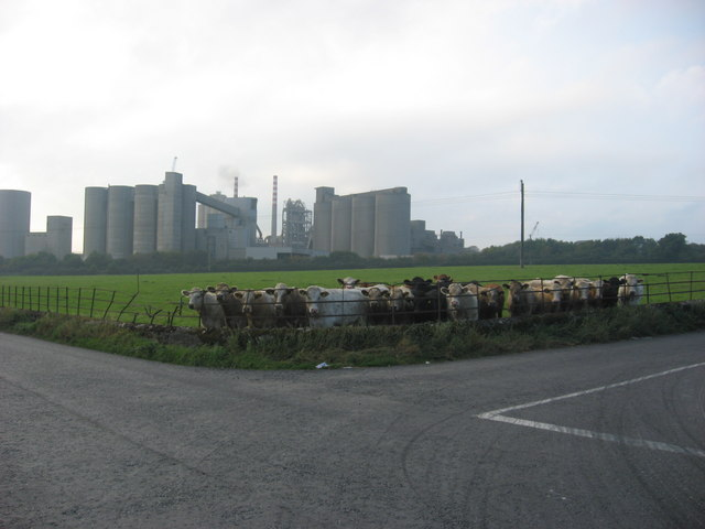 Curious cows at the crossroads, Platin, Co. Meath