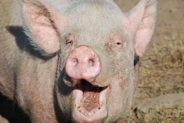 Mochyn Hapus - A Happy Pig