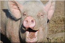 SH3936 : Mochyn Hapus - A Happy Pig by Alan Fryer
