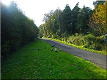 C7535 : Peacocks on the Burrenmore Road by Rossographer