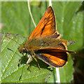 TL4661 : Large skipper butterfly (Ochlodes venata ) by Keith Edkins