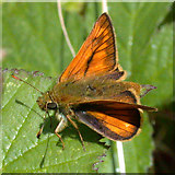 TL4661 : Large skipper butterfly (Ochlodes venata ) by Keith Edkins
