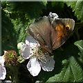 TL4661 : Meadow Brown butterfly (Maniola jurtina) by Keith Edkins