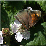 TL4661 : Meadow Brown butterfly (Maniola jurtina) by Keith Edkins