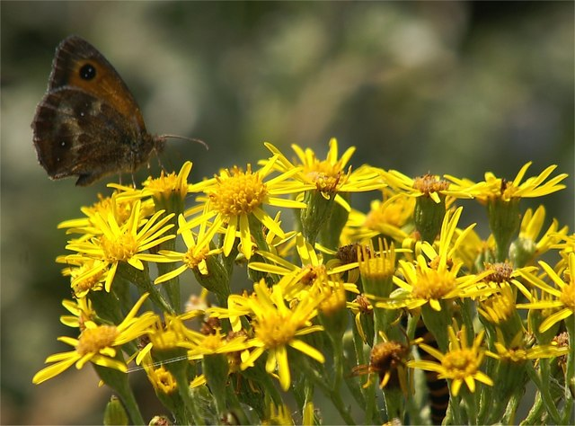 Gatekeeper (Pyronia tithonus) on Ragwort (Senecio jacobaea), Formby