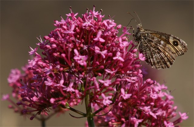 Grayling (Hipparchia semele) on Red Valerian (Centranthus ruber), Great Orme