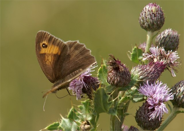 Meadow Brown (Maniola jurtina) on Creeping Thistle (Cirsium arvense), Aberlady