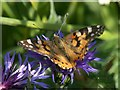 HP6208 : Painted Lady (Vanessa cardui) on garden knapweed, Baltasound by Mike Pennington