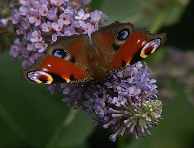 Peacock (Inachis io) on Buddleia, Ness Botanic Gardens