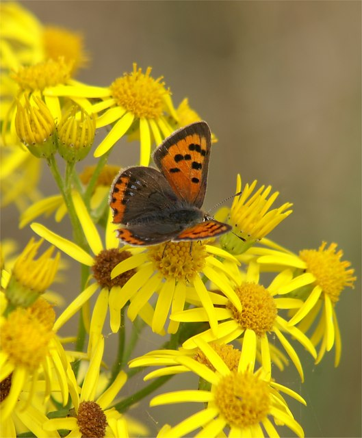 Small Copper (Lycaena phlaeas) on Common Ragwort (Senecio jacobaea), Aberlady Bay