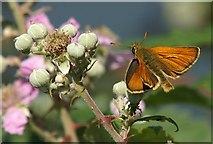 SH7783 : Small Skipper (Thymelicus sylvestris) on bramble (Rubus sp.), Great Orme by Mike Pennington