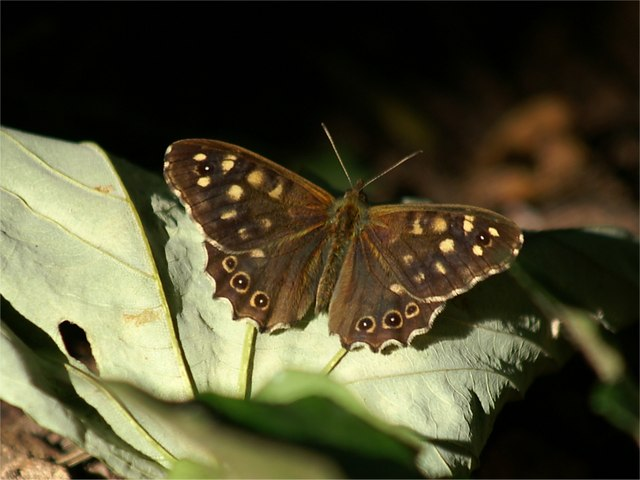 Speckled Wood (Pararge aegeria), Haulfre, Great Orme