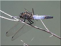 TL4661 : Black-tailed skimmer (Orthetrum cancellatum) by Keith Edkins