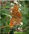 N2307 : Silver washed fritillary (Argynnis paphia) by Hugh Chevallier