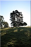 TL8162 : Pine trees in Ickworth Park by Bob Jones