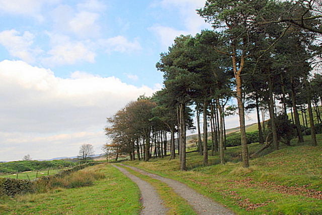 Coniferous woodland on Bretton Moor