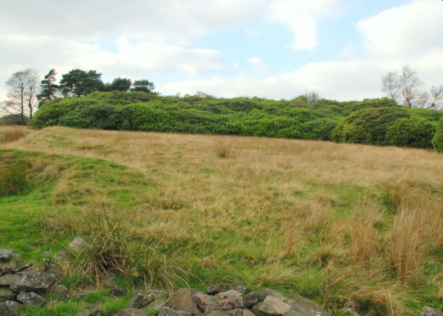 Rhododendrons on Bretton Moor