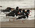 NZ5627 : Birdlife on Coatham Sands by Stephen McCulloch
