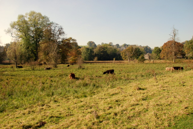 Cattle in the meadows near Stoney Middleton