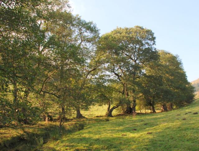 Alder trees in Mag Clough