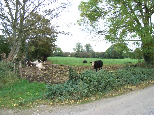 Cattle at Dunlough, Co. Meath