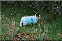 NY4714 : Blue Sheep by Steve Partridge