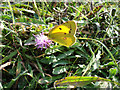 TV5097 : Clouded Yellow Butterfly Seaford Head East Sussex by Janet Richardson