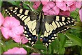 TG3406 : Swallowtail Butterfly RSPB Strumpshaw Fen Norfolk by Janet Richardson