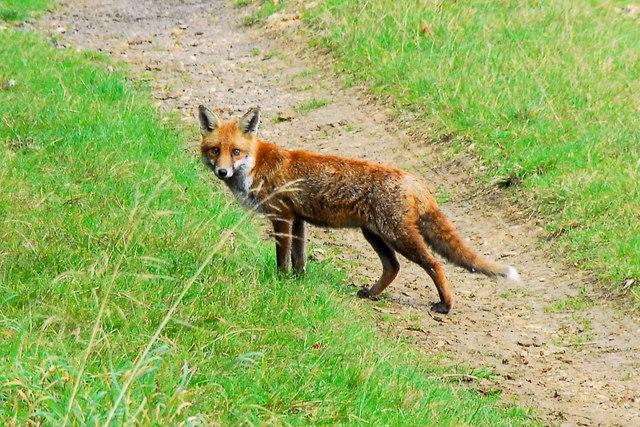 Fox near Bushey Wood, near Southorpe
