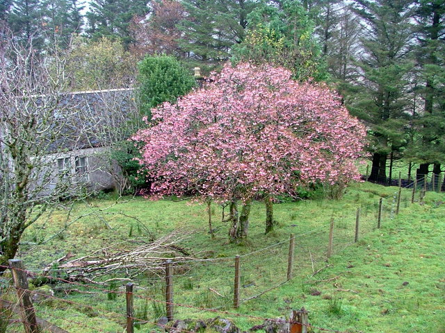 Autumn Cherry at Balnaknock