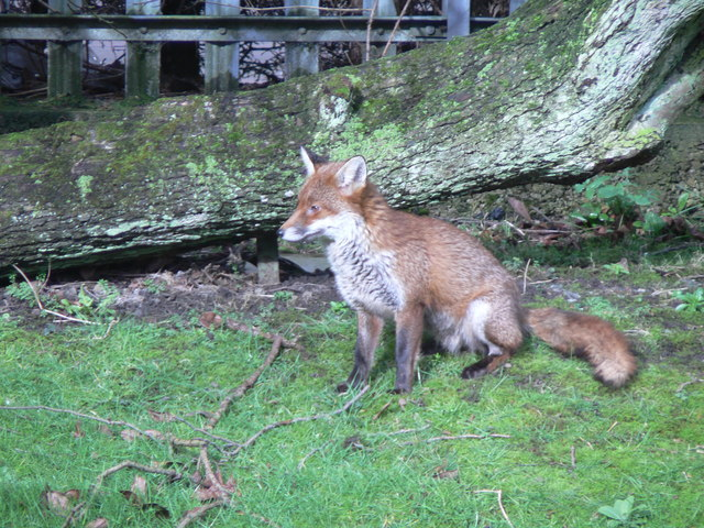 Maryhill Fox