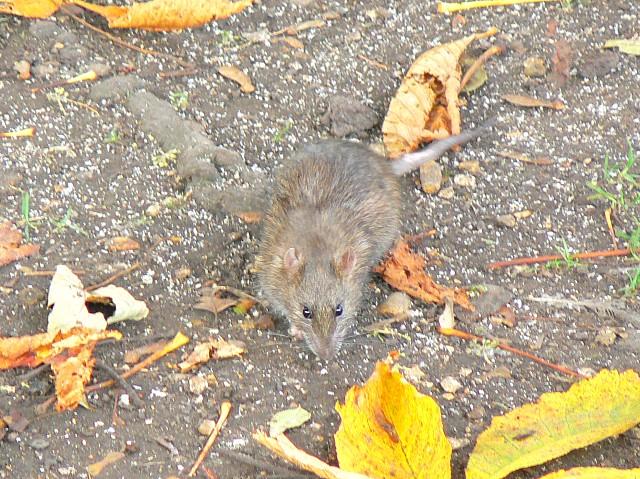 River Kennet rat, Marlborough, November 2007