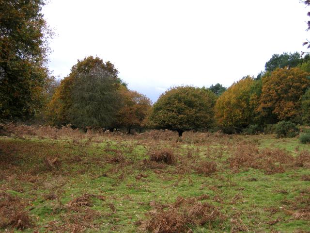 Pasture with oaks and bracken, Brandon, Suffolk