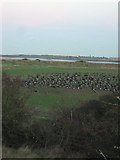 TM2223 : Grazing geese taking off from field near marshes by Zorba the Geek