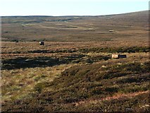 NY6738 : Grouse butts near Rowting Burn by Andrew Smith