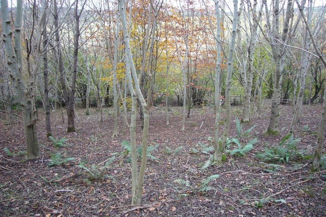 Young trees on Western edge of Chaddle Wood