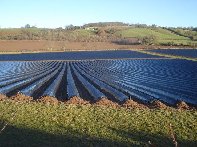 Plastic crops at Hill Farm