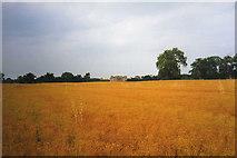 SO8843 : Rape field in the Croome Landscape Park by Trevor Rickard