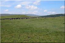 SD8965 : Cattle near Malham Tarn by Philip Halling