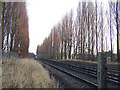 TQ8665 : Poplar trees beside railway line by Richard Dorrell