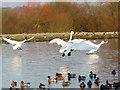 NY0565 : Caerlaverock WWT reserve by sylvia duckworth