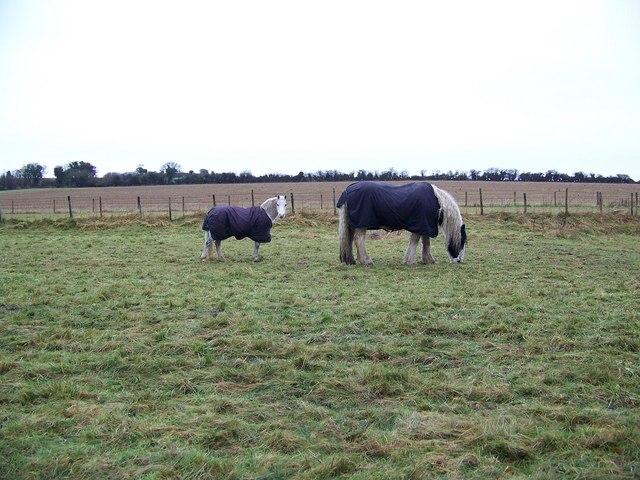 Ponies near Stratford Tony