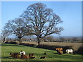 SO7741 : Cattle near Brickbarns Farm by Trevor Rickard