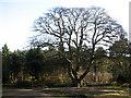 TG3130 : Sessile Oak  (Quercus petraea) by Evelyn Simak