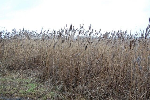 Reeds, Tinker's Marsh