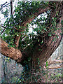 TG1730 : A bizarrely bent and twisted old tree by Evelyn Simak