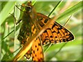 SW3922 : Small Pearl-bordered Fritillary by Frances Watts