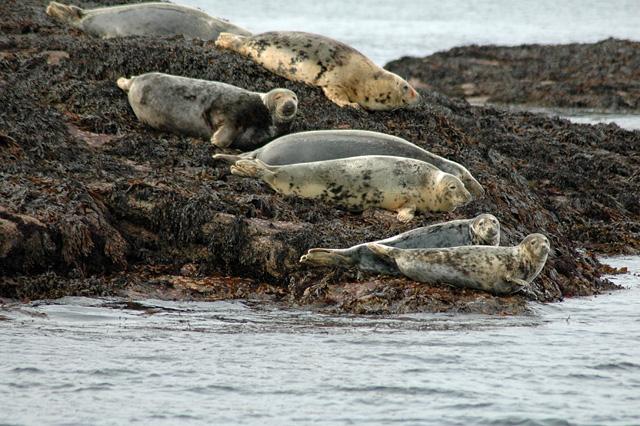 Seals on Rocks Eilean a' Chàr Summer Isles