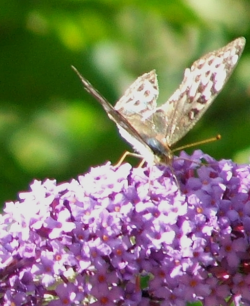 2006 : Silver-washed Fritillary on Buddleia